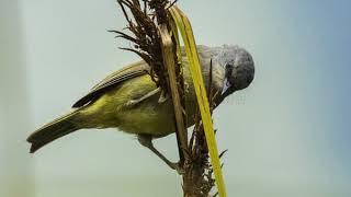 Suara Burung Opior Betina Gacor Call