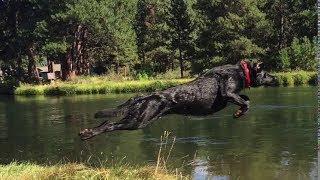 AWESOME! 105 Lb Flying Black Labrador Retriever + More