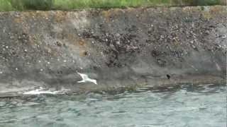 preview picture of video 'Sabine's Gull Tring 2nd July 2012'