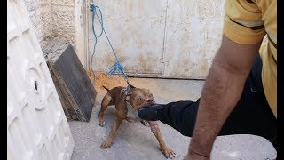 كلب البيتبول الذي عض طفلين ندرس سلوكه وكاد ان يقطع قدمي مع جمال العمواسي
