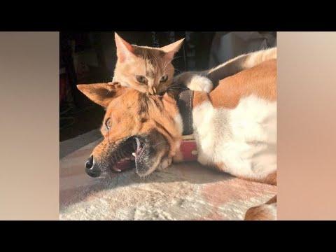 סרטון עם כלבים מצחיקים שמפחדים מחתולים
