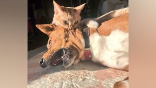 Funny DOGS AFRAID of CATS! Who is THE MASTER in the HOUSE?
