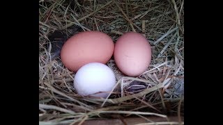 Warning Graphic! How to tell if your Chicken eggs are fertilized.  Home Grown Love 08/09/17