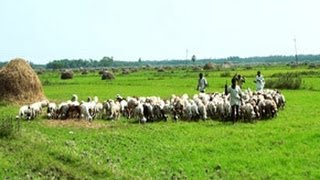 Goat Farming in a village in Andhra Pradesh