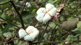 Plucking of Cotton bolls, Nandikonda