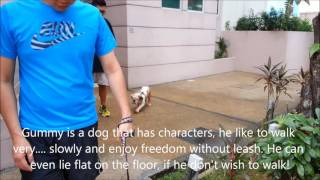 Dogs Training In Singapore -  Dogs Training is a family affair 一到两天. 狗儿服从认厕所和好行为训练!