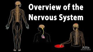 Overview of the Nervous System, Animation