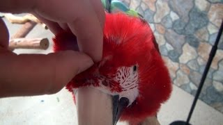 Santina Green-Winged Macaw - Opening Parrot Pin Feathers