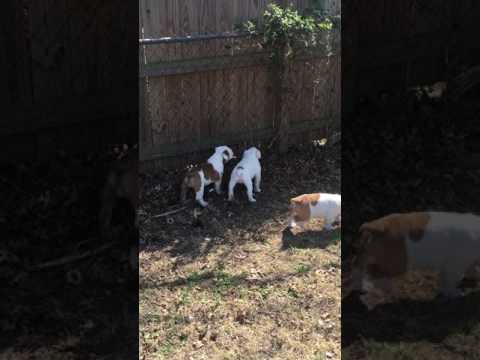 catdog playing in the back yard with brother