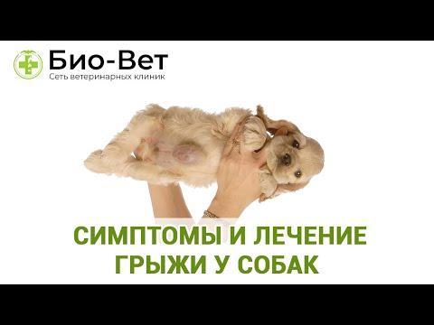 Грыжа У Собаки & Симптомы И Лечение Грыжи У Собак. Ветклиника Био-Вет