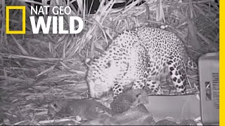 These Leopard Cubs Have a Heartwarming Reunion With Their Mother | Nat Geo Wild