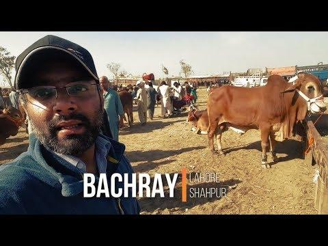 AATI JAATI KHUBSOORTIYAN IN LAHORE COW MANDI FOR BAKRA EID
