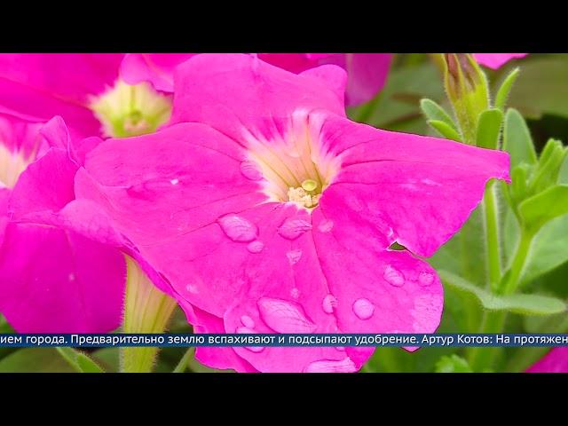 Ангарск украсят 120 тысяч цветов
