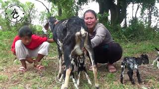 Mummy & Daughter Assists Mother Goat Feed Cute Baby Goat -Cute Baby Goat