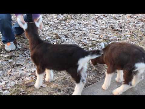 , title : 'Rhoxie and Rheya - Baby Toggenburg Goats