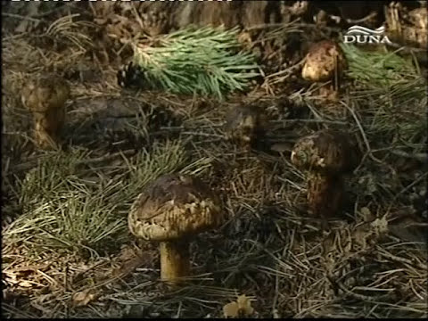 zygomycete gombák