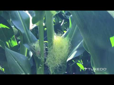 Virtual Field Day – Tuxedo Means Advanced Silk & Brace Root Development