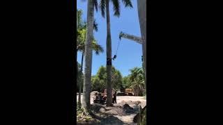 Transplanting 70′ Royal Palm Tree