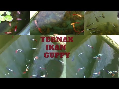 Video Budidaya ikan hias Guppy-Gobi-Molly