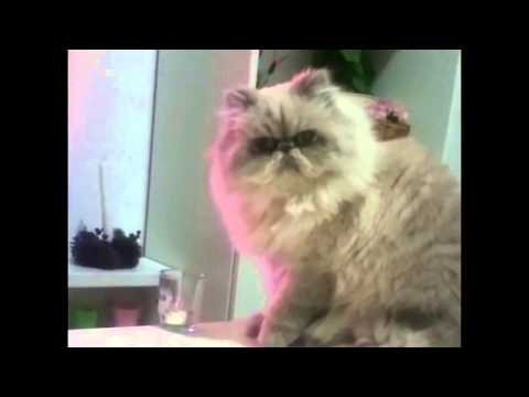 Thug Cat knocks glass off table