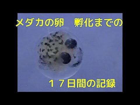 小川ブラック メダカの卵の孵化までの17日間の記録 産卵~孵化