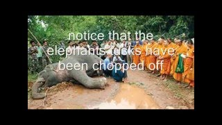 African Elephant Endangered
