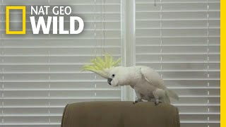 Snowball the Cockatoo Can Dance Better Than You | Nat Geo Wild