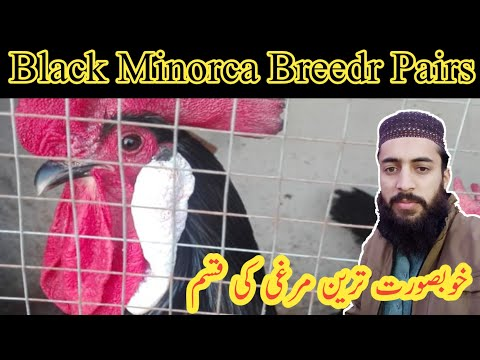 , title : 'Black Minorca Chicken Breedr Pair For Sale || Eggs Laying Start || 03333008333