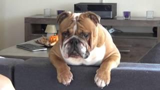 БЛУПЕР. Моя собака не дает мне снимать видео. Crazy English Bulldog.