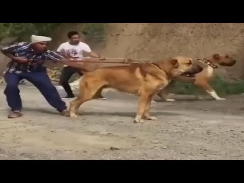 KaNGaL & ALaBai Warrior Dogs - Tiger * Wolf Not Regard As An Opponent