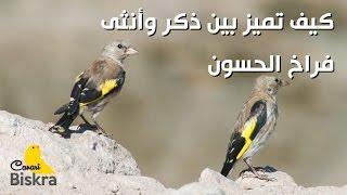 كيف تميز بين ذكر وأنثى فراخ الحسون