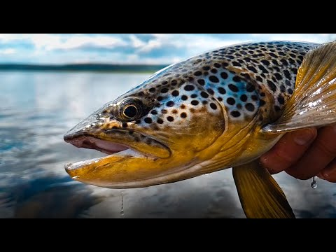 Fly fishing for big brown trout