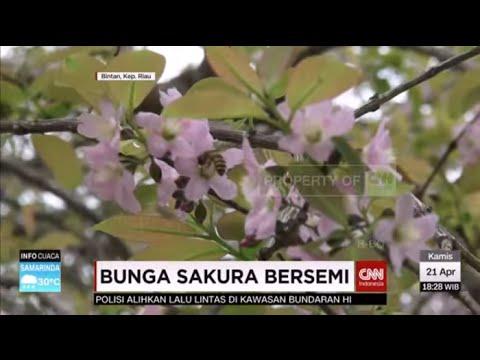 Video Momen Langka, Bunga Sakura Bersemi di Indonesia