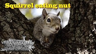 Squirrel eating a nut in a tree