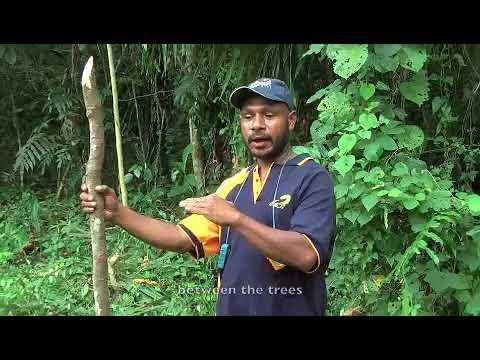Planting teak stumps