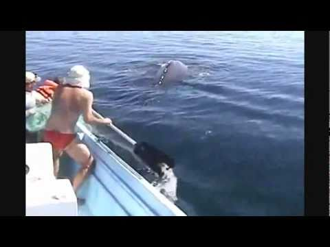 Download Amazing Humpback Whale Rescue & It's Joy After Being Set Free (2011) HD Mp4 3GP Video and MP3