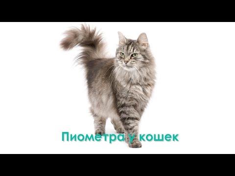 Пиометра у кошек. Ветеринарная клиника Био-Вет.