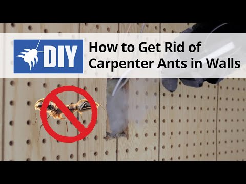 How to Get Rid of Carpenter Ants in Walls