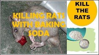 How to get rid of yard rats or house mice- Best method! - Смотреть видео