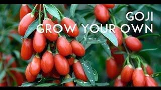 Goji Berry Tasting! Lycium Barbarum VS Lycium Chinense