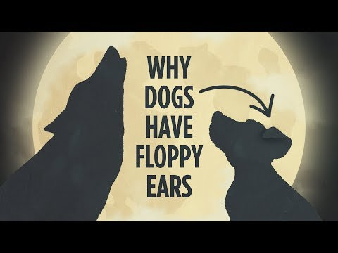 Why Domesticated Animals Have Floppy Ears
