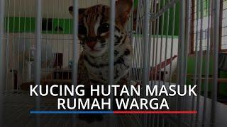 Kucing Hutan Tiba tiba Masuk Kamar Warga Agam, Penghuni Rumah Ketakutan, Dikira Anak Harimau