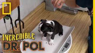 A Puppy Party | The Incredible Dr. Pol