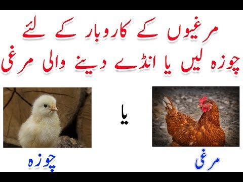 3 Business Ideas About Golden Misri Hens | Murghi Ka Karobar