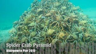 ORIGINAL VIDEO Melbourne Scuba Diver Films Stunning Spider Crab Migration Pyramid 2015 HD
