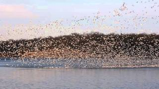 Thousands of thousands of migrating white geese.