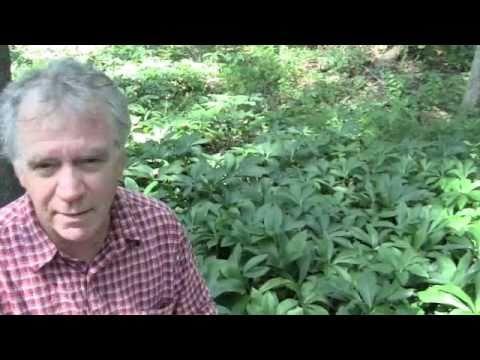 Chestnut review para sa pagbaba ng timbang