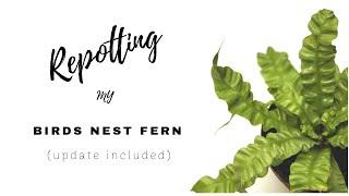HOW TO REPOT BIRDS NEST FERN | Repot and update