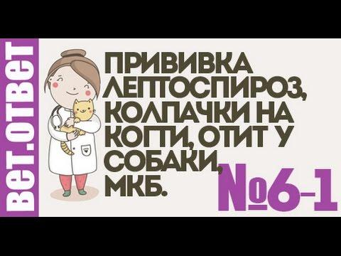 Привика от лептоспироза, колпачки для кошки, профилактика МКБ. Ветеринар онлайн 6-1