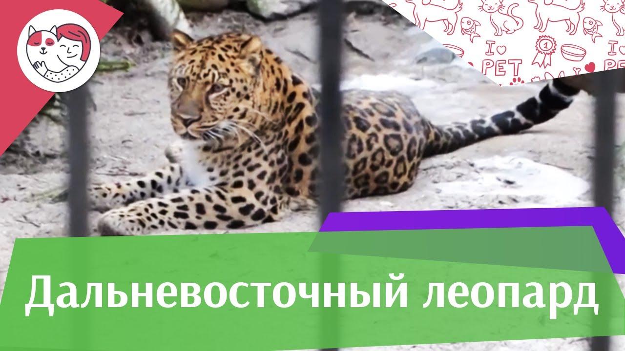 Дальневосточный леопард на ilikepet